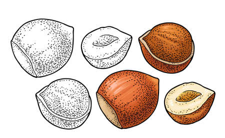 Set whole and half hazelnut. Vector engraving color and monochrome vintage illustration. Isolated on white background.