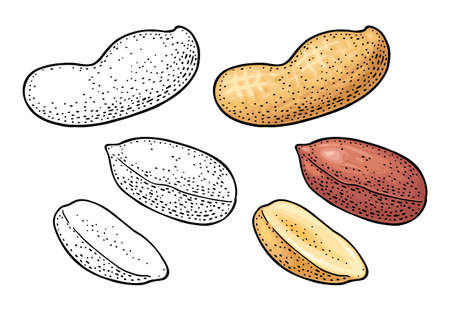 Whole and half peanut seed with and without shell. Vector engraving color vintage illustration. Isolated on white background. Ilustração Vetorial