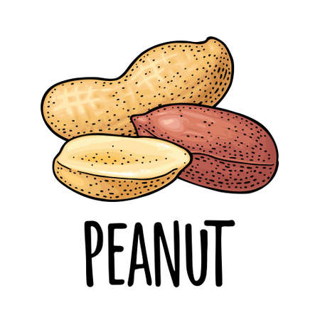 Whole and half peanut seed with and without shell. Vector engraving color vintage illustration. Isolated on white background. Stock Illustratie
