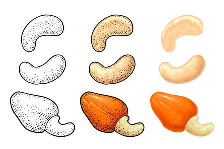 Cashew nut with fetus. Vector engraving color and monochrome vintage illustration. Isolated on white background. Stock Illustratie