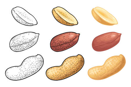 Whole and half peanut seed with and without shell. Vector engraving color and monochrome vintage illustration. Isolated on white background. Stock Illustratie