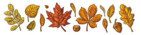Set leaf, acorn, chestnut and seed. Vector vintage color engraved illustration. Isolated on white background