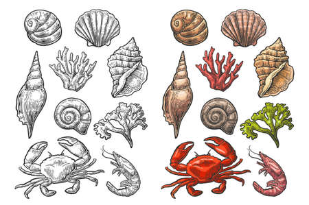Set sea shell, coral, crab and shrimp. Vector color engraving vintage illustrations. Isolated on white background.