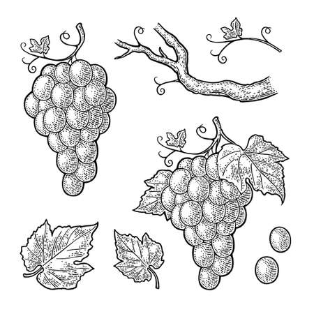 Bunch of grapes with berry and leaves. Black vintage engraving vector illustration for label, poster, web. Isolated on white background