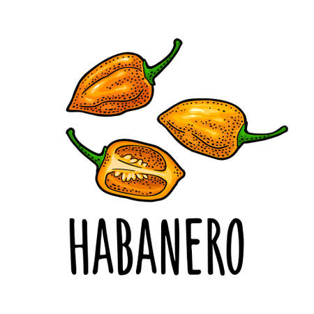 Whole and half pepper habanero. Vector vintage color engraving illustration for menu, poster, label. Isolated on white background. Hand drawn design element Stock Illustratie