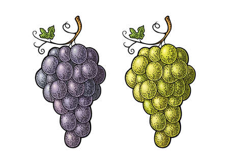 Bunch of blue and green table grapes. Vintage color engraving vector illustration for label, poster, web. Isolated on white background. Hand drawn design element for label and poster