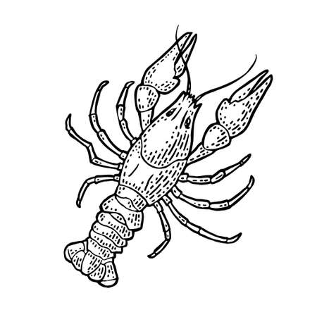 Lobster isolated on white background. Vector color vintage engraving illustration for menu, web and label. Hand drawn in a graphic style. Stock Illustratie