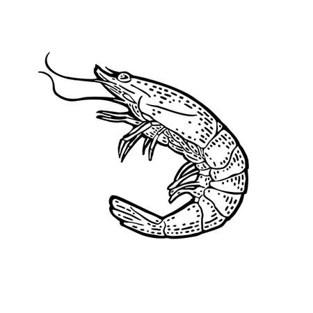 Shrimp isolated on white background. Vector black vintage engraving illustration for menu, web and label. Hand drawn in a graphic style.