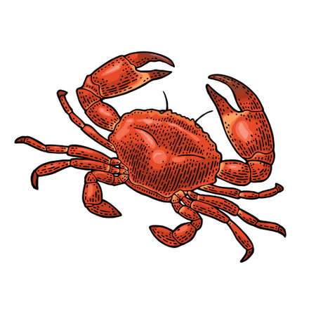 Crab isolated on white background. Vector color vintage engraving illustration for menu, web and label. Hand drawn in a graphic style.