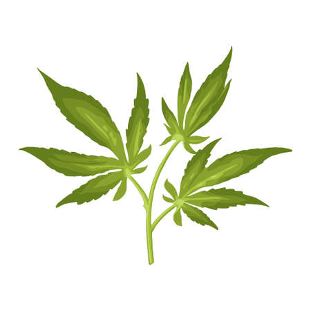 Marijuana branch with leaf. Color vector realistic illustration for label, poster, web. Isolated on white background. Hand drawn design element cannabis. Vector Illustratie