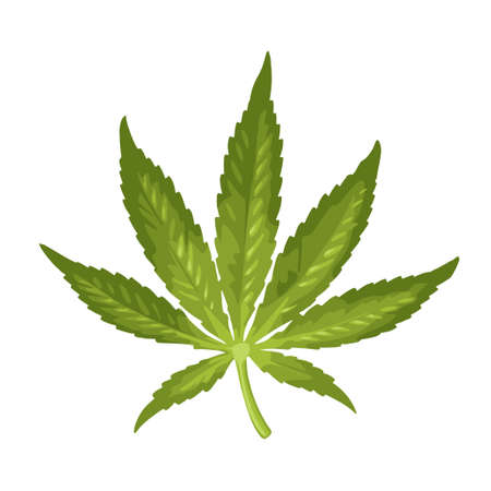 Marijuana leaf. Color vector realistic illustration for label, poster, web. Isolated on white background. Hand drawn design element cannabis.