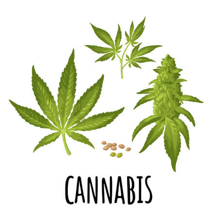 Set cannabis. Marijuana mature plant with leaves, buds, seeds. Color vector realistic illustration for label, poster, web. Isolated on white background. Hand drawn design element. Ilustração Vetorial