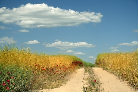 Field of wheat under the blue sky, with clouds on horizon  Stock Photo