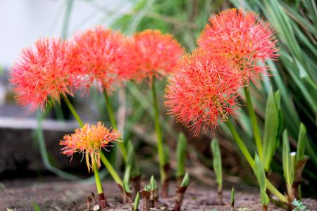 powder puff: Powder puff lily or Blood flower (Scientific Name:Haemanthus Multiflorus) on blur background