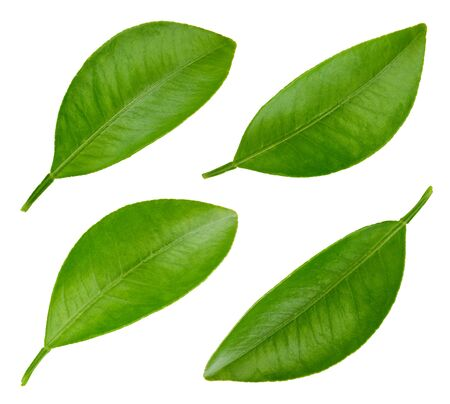 Leaf citrus isolated on a white background. Leaf collection. Leaves macro photo Stock fotó