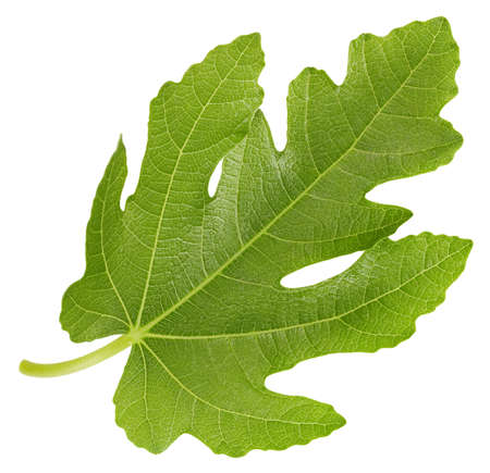 Leaf fig. Leaf. Organic fig leaf macro studio photo. Full depth of field