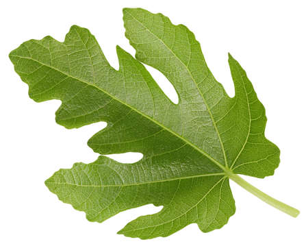 Leaf fig. Leaf  . Organic fig leaf macro studio photo. Full depth of field Banco de Imagens