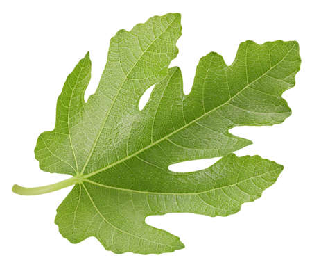 Fig leaf. Fig isolated on white background. Fig leaf macro Banco de Imagens