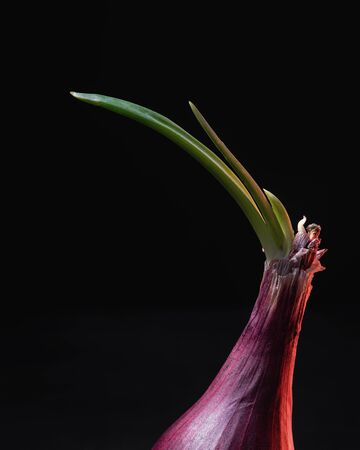 Sprouting Red Onion on Black Background