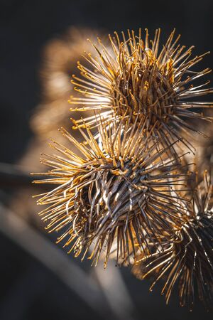 Detail of Dry Thistle Plant
