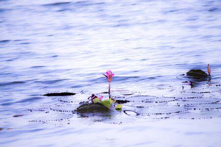 Lotus water blue photo