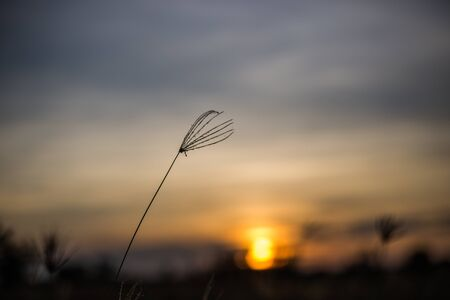 wild grass: wild grass in the sunset Stock Photo