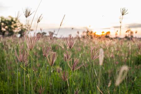 野草: wild grass in the sunset 写真素材