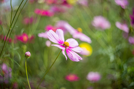 Cosmos pink is a flower field 版權商用圖片