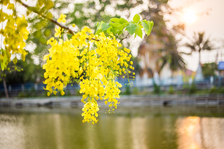 Golden Shower Tree  is blooming in summer