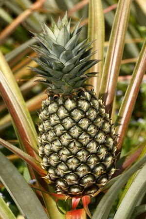 eat the plant: Pineapple
