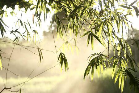 Bamboo leaf Stock Photo