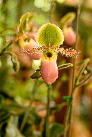 Rare orchid in Thailand, Paphiopedilum photo