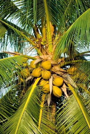 Yellow coconut on coconut tree Stock Photo