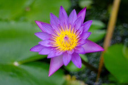 Purple lotus flower blossom in the pool photo