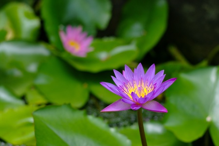 Purple lotus flower in the pool, Thailand photo