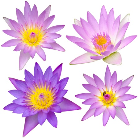 Collection of beautiful lotus flower on white background photo