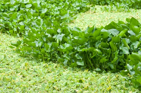 water hyacinth: Water hyacinth in the swamp, Nature background Stock Photo