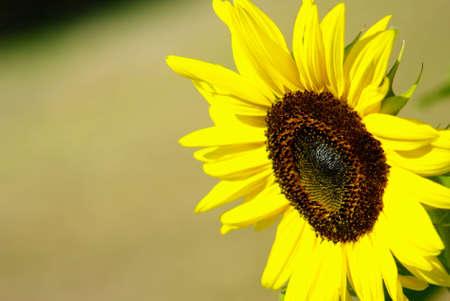 Sunflower in the farm, Thailand photo