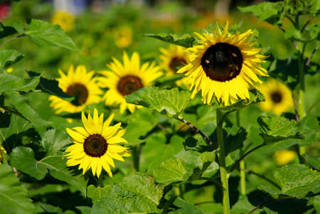 Sunflower in the farm, Thailand Stock Photo - 12515814