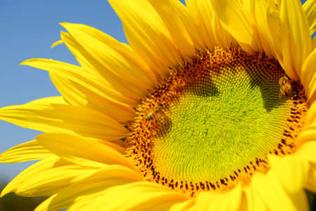 Sunflower in the farm with bees Stock Photo - 12515834