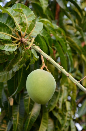Mango on tree, Agriculture concept photo