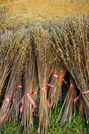 bind: Bind the Dry plant harvest  Stock Photo