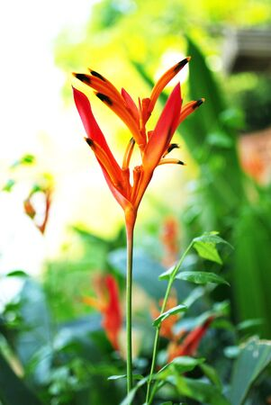 Bird Of Paradise flower in the garden photo
