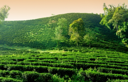 Green tea farm on hill in Thailand