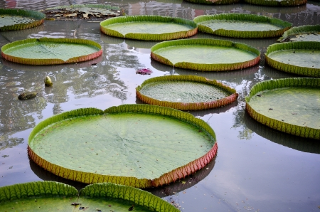 Victoria lotus leaf in swamp Stock Photo - 15769813