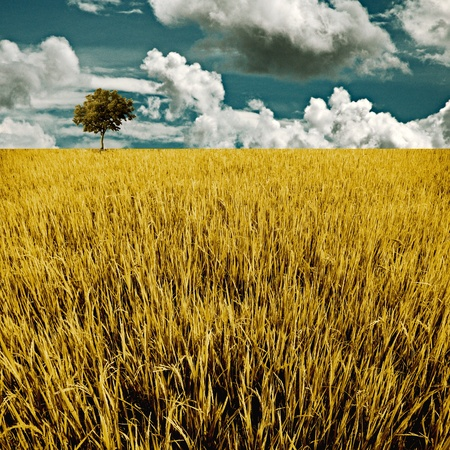 Tree in golden rice field, Harvest time concept photo