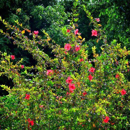 rosemallow: Hibiscus, fiore Rosemallow su albero, Thailandia Archivio Fotografico