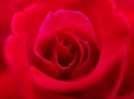 Red rose flower closeup, Love concept Stock Photo - 17482715