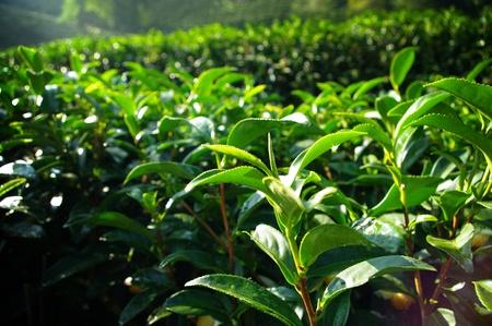 Tea tree farming on hill, Thailand Stock Photo - 17627257