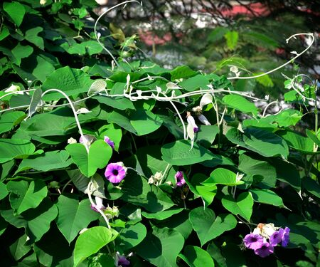 Ivy flower on tree canopy, Plant flower Stock Photo - 18106119
